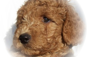 Ontario Labradoodle Puppy Heaven Labradoodles Labradoodle